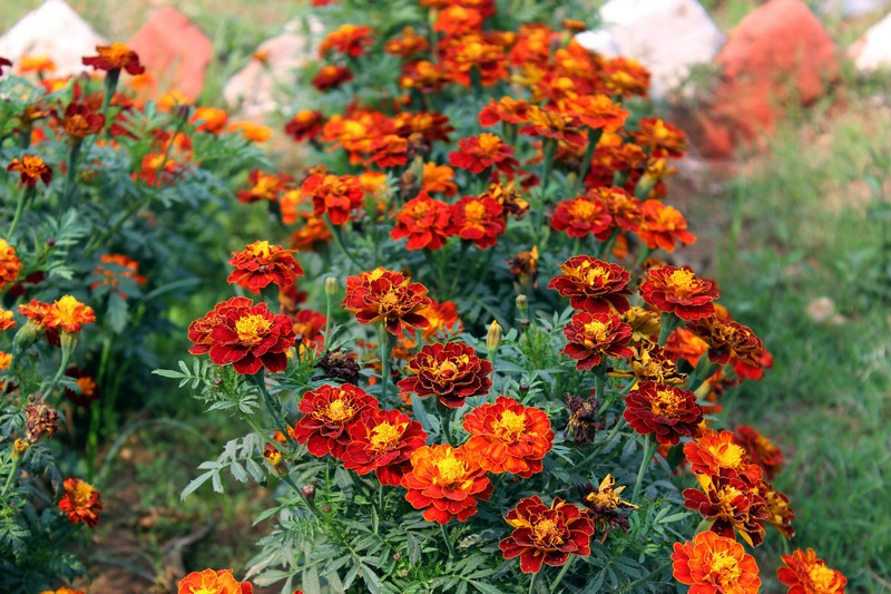 Marigolds courtesy of Wikimedia Commons